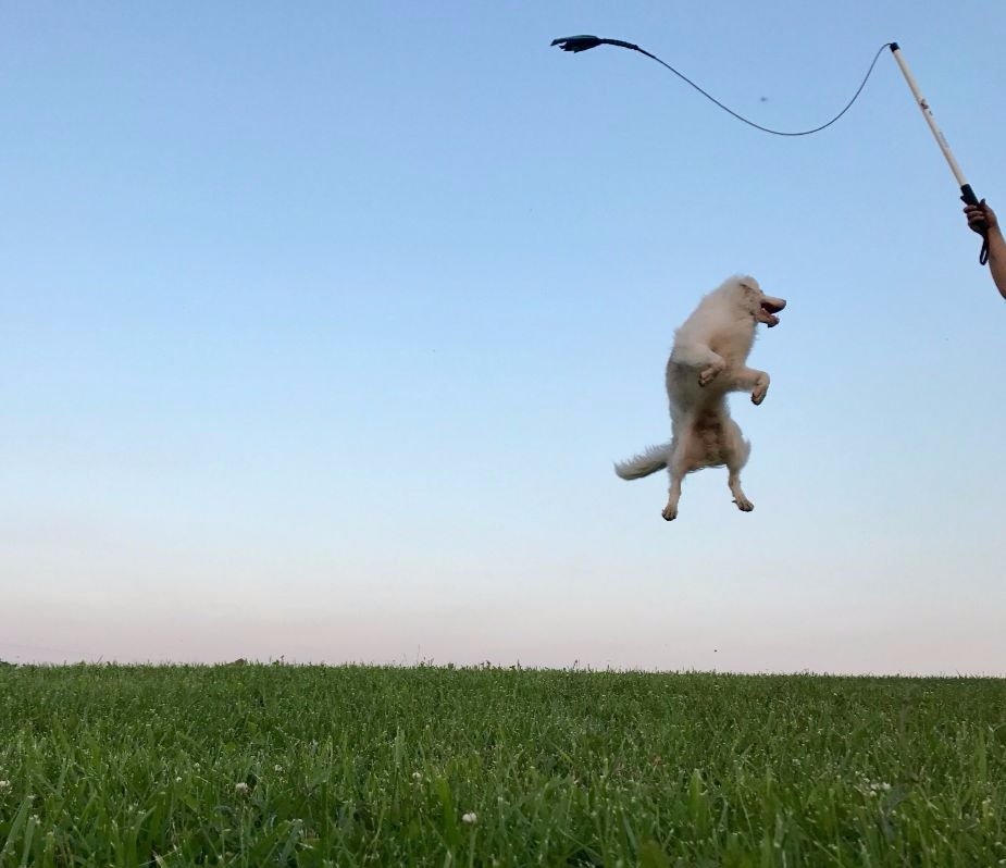 Flirt pole the dog toy that changed my life happy dogs if you could only supply your pack with one toy for the rest of their lives what would it be its a tough choice i know i have a ball crazed border solutioingenieria Choice Image
